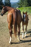 Horses, mother and son - stock photo