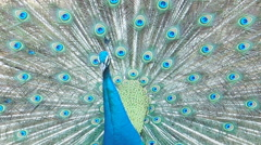 Peacock displaying colorful feathered tail. Stock Footage