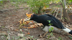 Rhinoceros hornbill eating fruit. Stock Footage