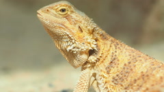 Bearded Dragon, Close up. Stock Footage