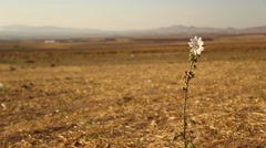 Lonely Daisy in Moor - stock footage