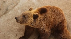 Big beautiful brown bear eating bread, chewing with appetite. Animal in zoo Stock Footage