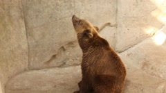 People throwing bread to big brown bear. It eating bread from its hand Stock Footage