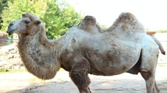 Camel in zoo Stock Footage