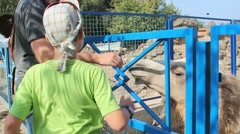 People feeding animals in zoo. Close up of man hand and cute head of camel - stock footage