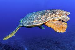 Old big green turtle - stock photo