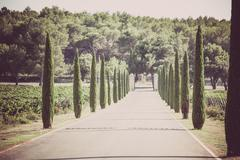 Cypresses alley through vineyards Stock Photos