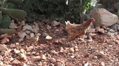 Stock Video Footage of Hen and chicks running away trekking shot