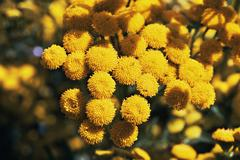 Tansy flowers - stock photo