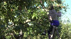 Stock Video Footage of Fruit picker woman collect apples to bucket sitting on ladder. Zoom out. 4K