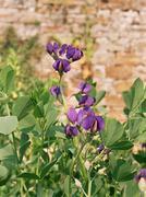 Wild indigo plant Stock Photos