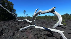 Dead, parched tree on a barren lava field - slider shot, Hawaii, Big Island - stock footage