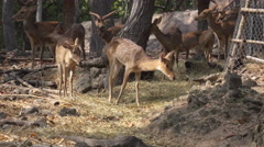 Medium shot of a deer staying still at the zoo. Stock Footage