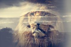 Double exposure of lion and Mount Kilimanjaro savanna landscape. - stock photo