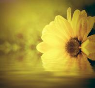 Fresh spring flower in water and sun light. Spa, wellbeing concept. Stock Photos