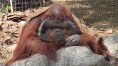 A portrait of a sad orangutan. Stock Footage
