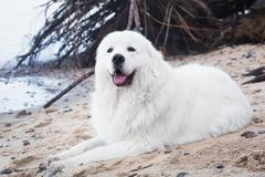 Polish Tatra Sheepdog. Role model in its breed. Also known as Podhalan Stock Photos