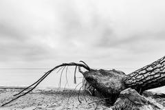 Fallen tree on the beach after storm. Sea black and white Stock Photos