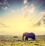 Stock Photo of Elephant on African savanna at sunset. Safari in Amboseli, Kenya, Africa