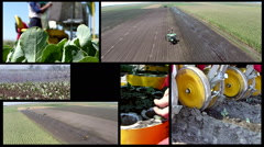 Stock Video Footage of Split screen of workers on the field during cauliflower planting.