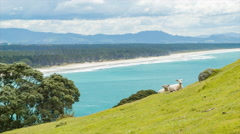 Tauranga New Zealand Sheep Grazing on Mount Maunganui Stock Footage