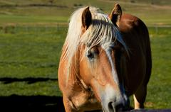 Stock Photo of Brown saddled horse grazing in field.