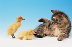 Kitten and two ducklings Stock Photos