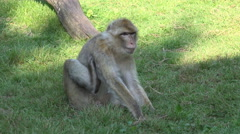 4k Barbary macaque closeup relaxing on grass sunny day Stock Footage