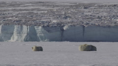 Polar bear mother and cubs sleep on sea ice with heat waves shimmering - stock footage