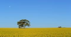 A lone tree in a windblown wheat field near Kalbarri, Western Australia. Stock Footage