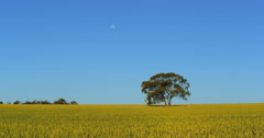 A lone tree in a windblown wheat field near Kalbarri, Western Australia. Stock Footage