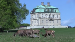 Red deer grazing at the Royal Hermitage Palace (Eremitageslottet), Copenhagen - stock footage