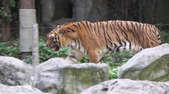 tiger walking back and forth, chiangmai zoo , thailand. - stock footage