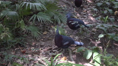 The crowned pigeons in the jungles. Stock Footage