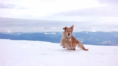 Dog Playing With a Snow Balls on the Top of the Mountain Stock Footage