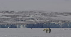Two Polar Bears Take Each Others measure and then walk away Stock Footage