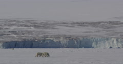 Two Polar Bear cubs walking across sea ice together in front of glacier cliff Stock Footage