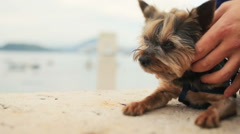 Groom petting little cute dog terrier Montenegro, Budva close up - stock footage