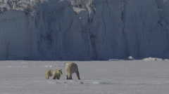 Slow motion of polar bear family making its way across the sea ice - stock footage