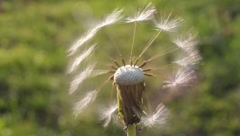Fantasy with dandelion Stock Footage