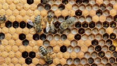 Life and reproduction of bees - stock footage