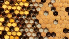 Larvae and cocoons bees Stock Footage