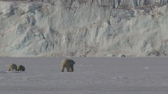 Slow motion - Polar Bear family at base of glacial cliff on the sea ice - stock footage
