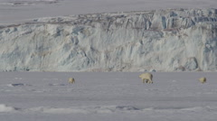 Slow motion - Polar bear two cubs and mother walk on sea ice Stock Footage