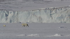Slow motion - Polar bear mother and cub and by 2nd cub on seaice - stock footage