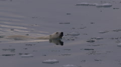 Slow motion - Mother polar bear leads its cub through frigid broken ice Stock Footage