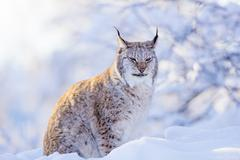 Close-up of proud lynx cat in the winter sunset - stock photo
