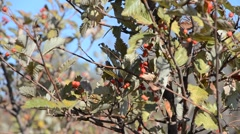 A Branch of Mountain Ash in the Wind Stock Footage