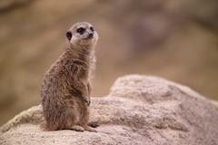 Meercat is watching Stock Photos