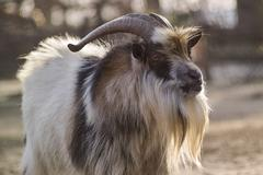 Goat with backlight Stock Photos